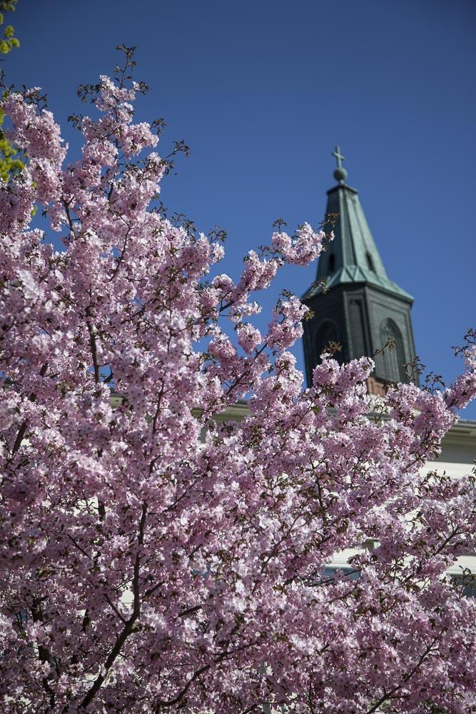 Tuomiokirkko ja kirsikankukkia