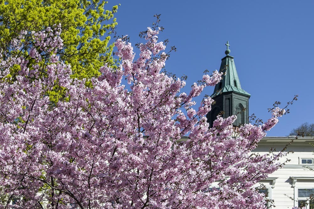 Sakura eli kirsikkapuiden kukinta Turussa