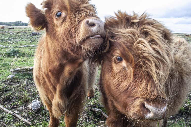 Paljassaare ja sen lehmät