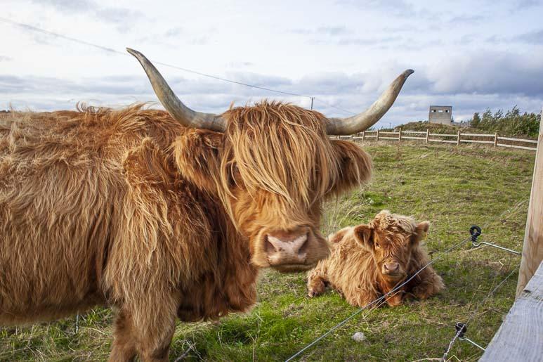 Paljassaaren lehmät